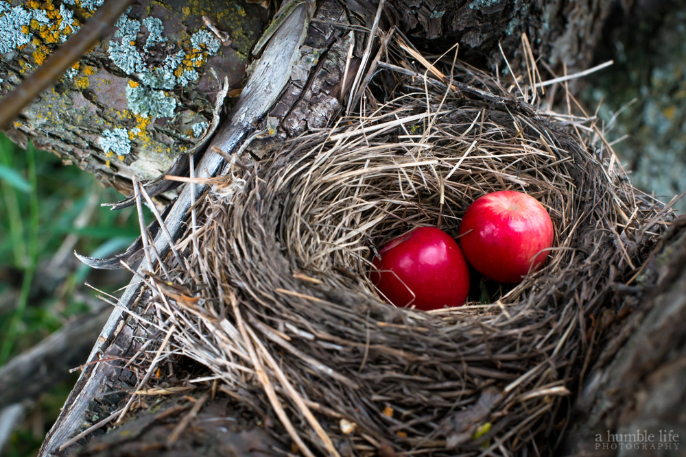Birds Nest in the Crab-apple Tree