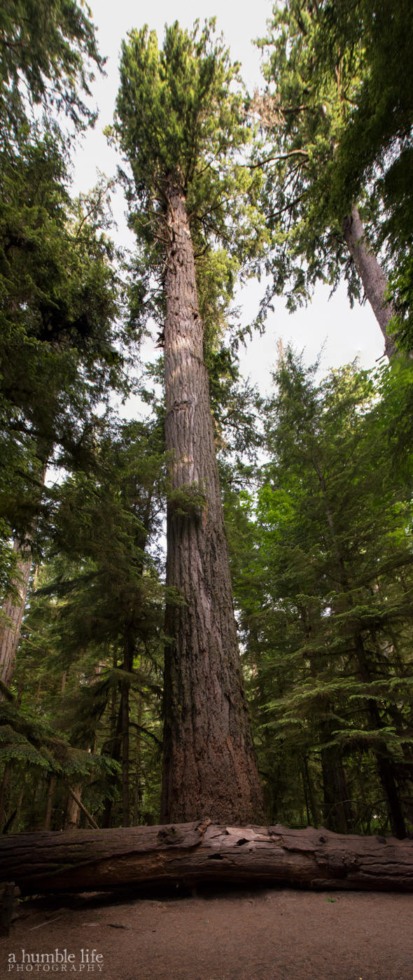 The Big Tree, Cathedral Grove