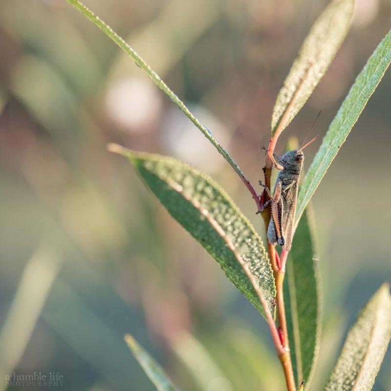 Grasshopper on Willow