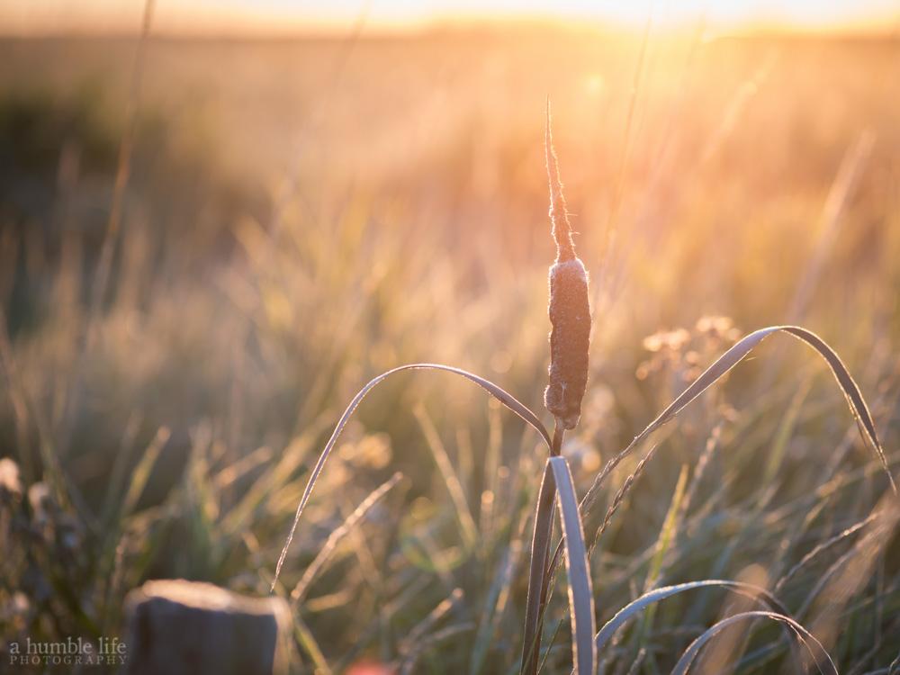 Cattail Sunrise