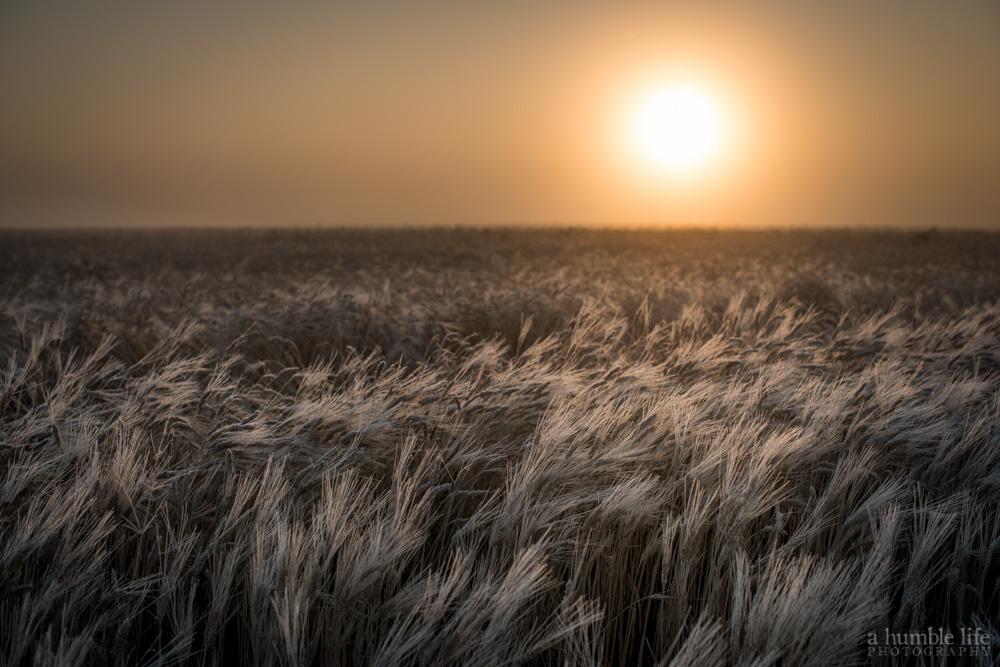 Wheat Field Sunrise