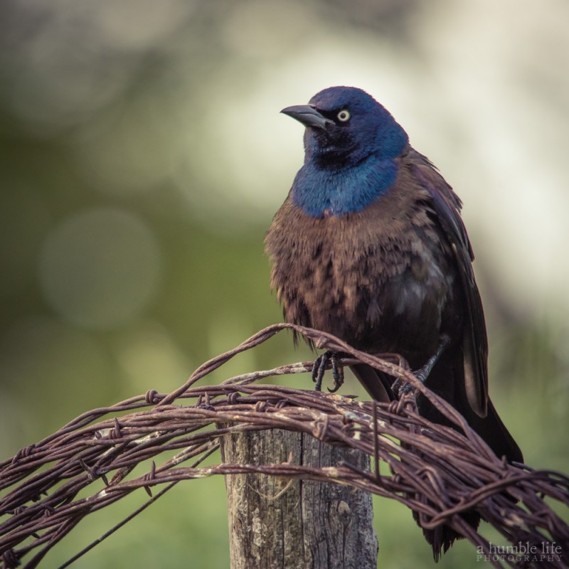 Angry Blackbird