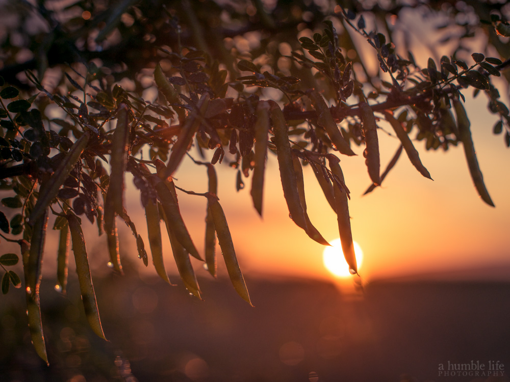 Caragana Sunset