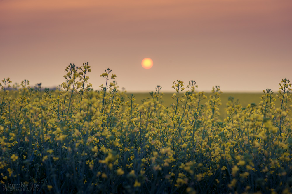 Smokey Canola Field Sunset