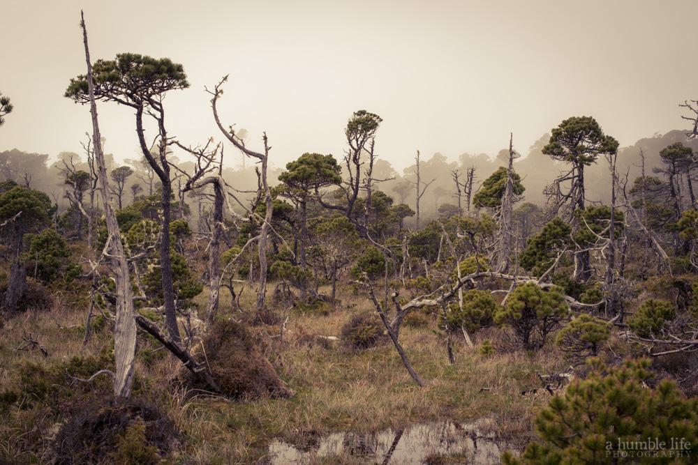 Shorepine Bog